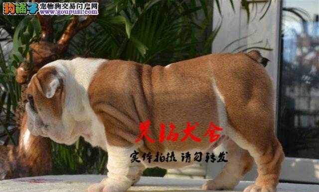 极品英国斗牛犬在这里、保纯种和健康CKU国际认证