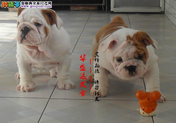 极品斗牛犬在这里、保障纯种和健康、十佳犬舍CKU认证