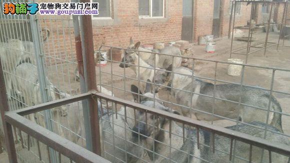 自己家养的狼青犬,狼青幼犬出售