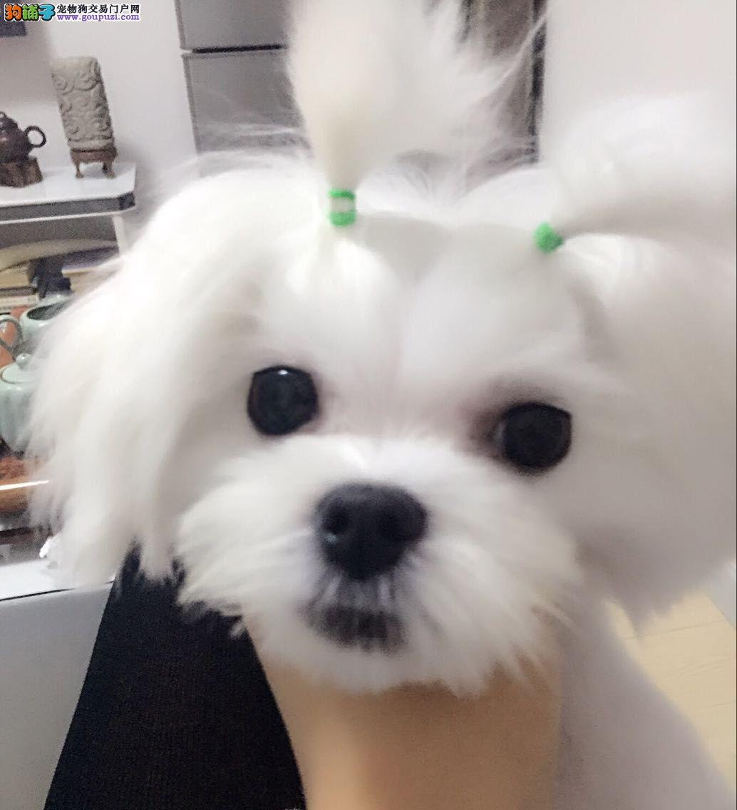 与生俱来的高贵气质,小巧玲珑的马尔济斯幼犬出售