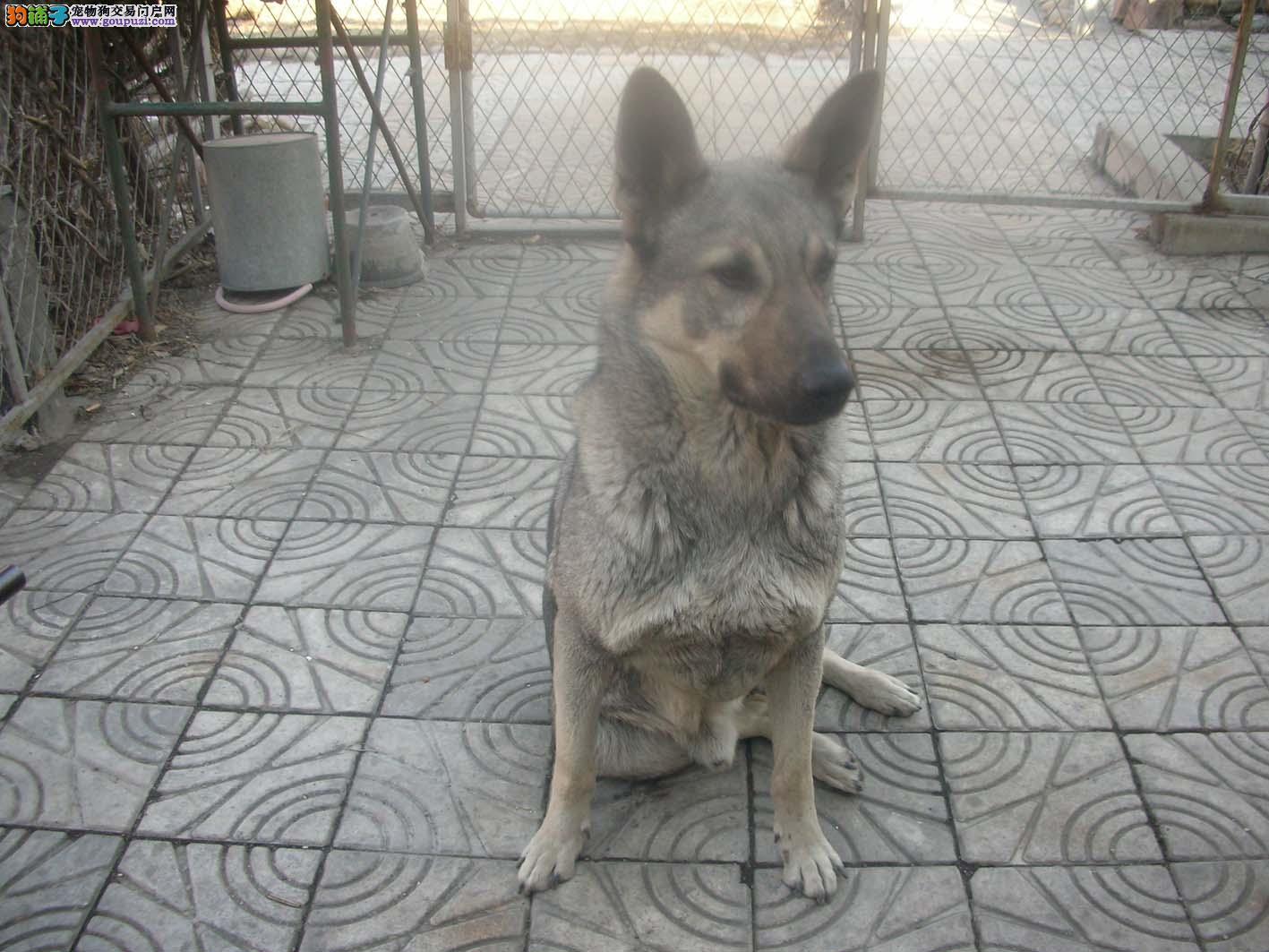 自家养的狼青狗现在出售