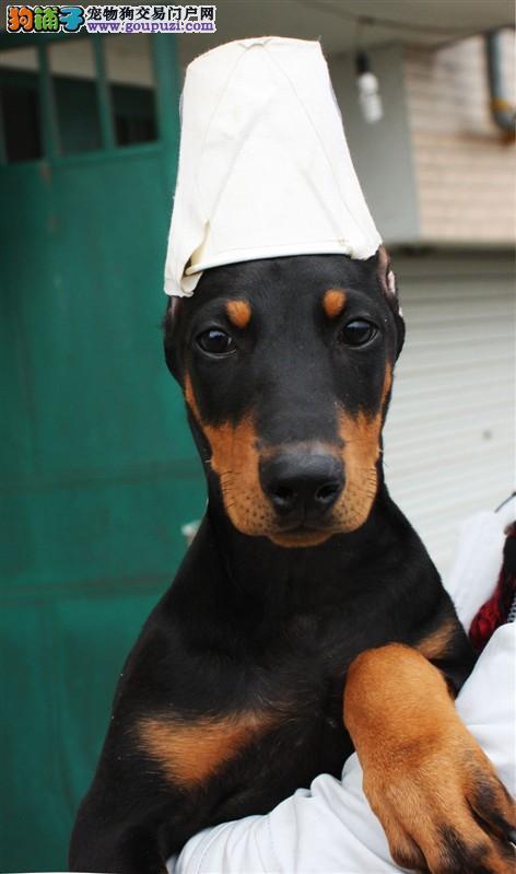 哪里有纯种杜宾犬出售 杜宾哪里有出售的