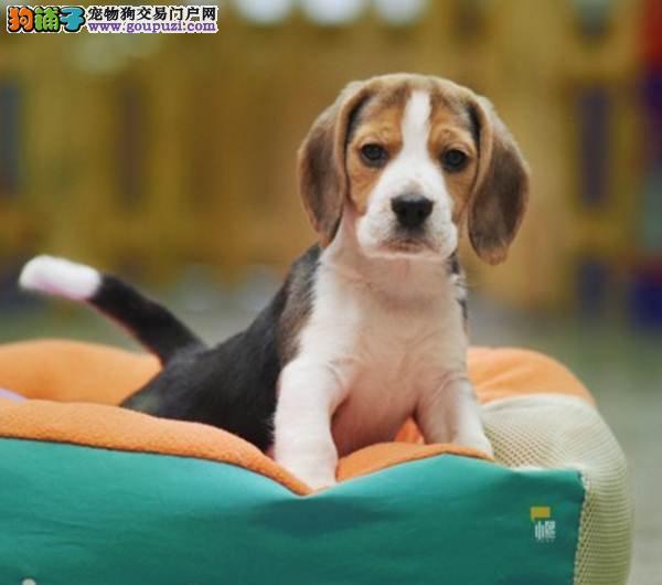 比格幼犬质保出售 三年质保 签协议 可刷卡