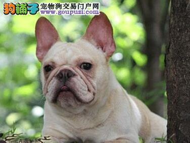 广东专业的法国斗牛犬犬舍终身保健康CKU认证品质绝对保障