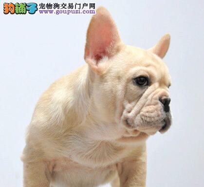法国斗牛犬兰州最大的正规犬舍完美售后可签订活体销售协议