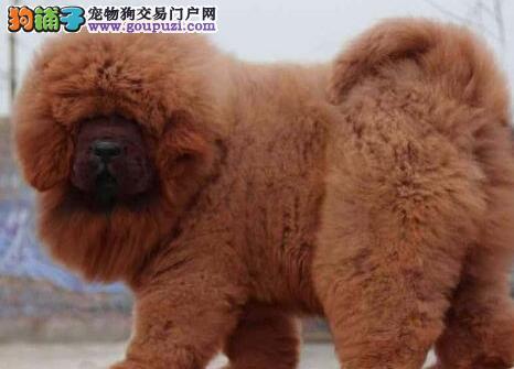 本地狗场热销原生态济南藏獒幼犬 可优惠可当面看狗