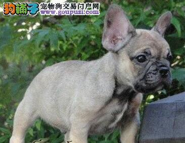 天津最大犬舍出售多种颜色法国斗牛犬保证冠军级血统