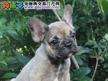 特价转让大鼻筋杭州斗牛犬 有血统证书虫疫苗已做好