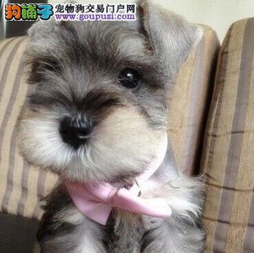 赛级品相雪纳瑞幼犬低价出售均有三证保障