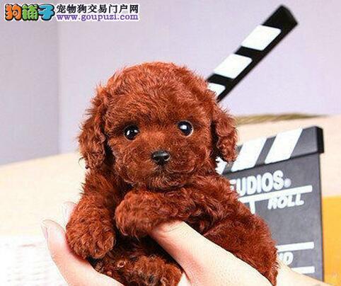 六种颜色齐全超小体的杭州泰迪犬优惠出售中 非诚勿扰