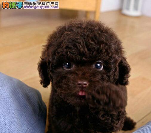 精品贵宾犬 保证纯种天津大型繁育中心直销 有协议