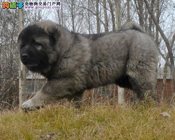 重庆做专业的繁殖基地出售高加索幼犬疫苗驱虫已做完