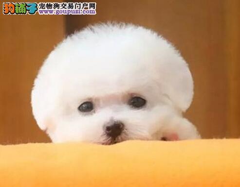 极品可爱卷毛比熊犬特价出售 欢迎来南京犬舍直接挑选