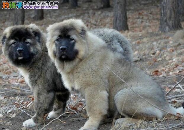 沈阳犬舍繁殖出售狼青色熊版的高加索犬 签订购犬协议