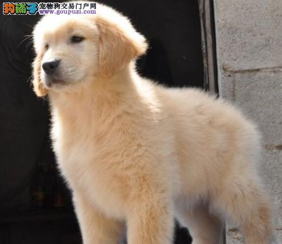 家养血统纯正金毛犬优惠促销西城地区购买签合同