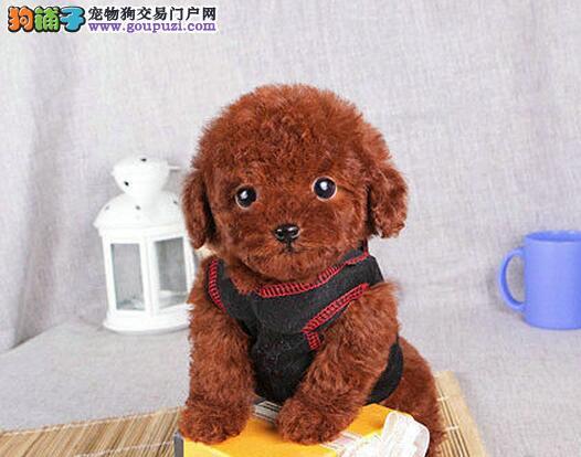 武汉热销贵宾犬颜色齐全可见父母欢迎实地挑选