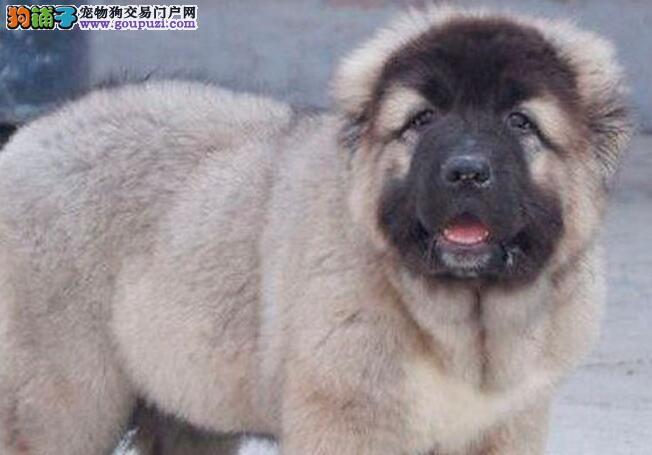 吐鲁番实体店面热卖狼青色高加索幼犬 实物拍摄保证品质