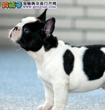 湛江知名犬舍直销纯种斗牛犬品相好花色完美