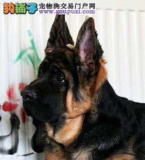 湛江犬业促销顶级锤系德国牧羊犬头大嘴宽脸黑