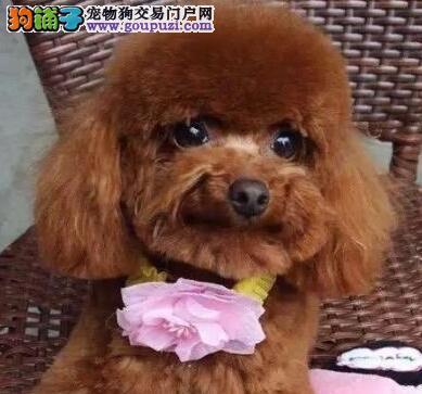 乖巧可爱聪明懂事的湛江贵宾犬包养活售后服务好
