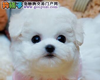 本地狗场出售韩系西安泰迪犬 有质量问题可包邮退换