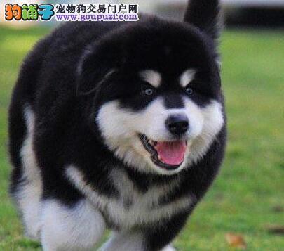 热销多只优秀的纯种阿拉斯加犬送用品送狗粮