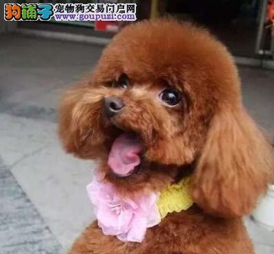 低价出售完美品相的包头贵宾犬 签订正规售后协议