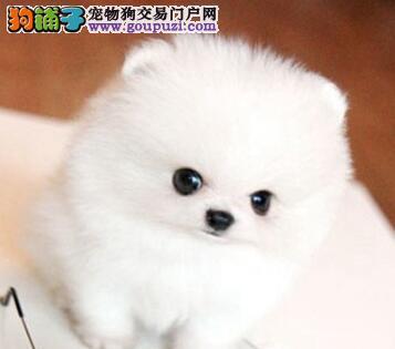 桂林正规犬舍直销球形血系的博美犬 超小体大毛量品相