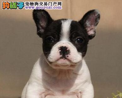 完美品相血统纯正大同法国斗牛犬出售签订协议终身质保