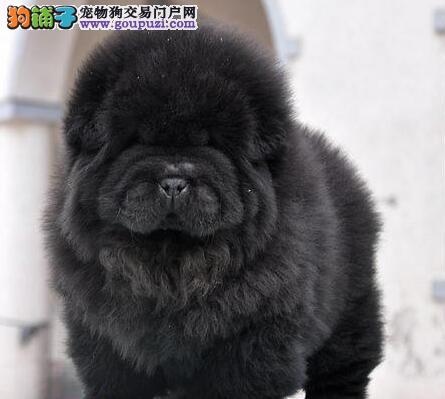 南通正规犬舍出售紫舌头的松狮犬 可提前预定