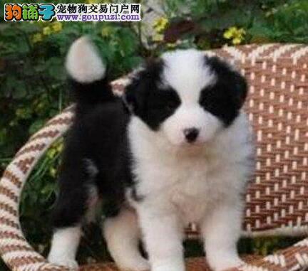 大型养殖基地出售白金汉宫血系上海边境牧羊犬 血统纯