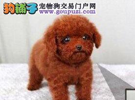 直销价格出售纯种健康韩系上海泰迪犬 可办理血统证书