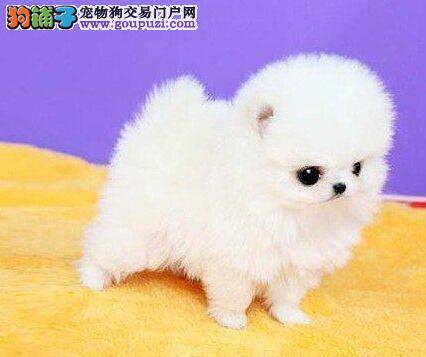 优惠价格出售纯种哈多利版上海博美犬 球型品相优秀