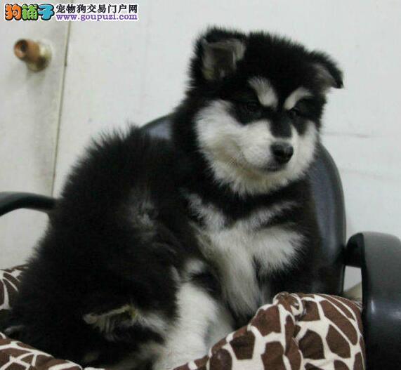 顶级优秀犬舍低价出售精品双十字上海阿拉斯加雪橇犬