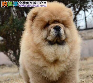 湖州热销松狮颜色齐全可见父母微信咨询看狗狗照片