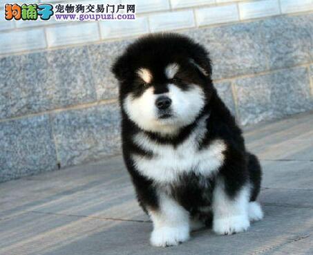 CKU认证犬舍 专业出售极品 阿拉斯加犬幼犬欢迎上门选购价格公道