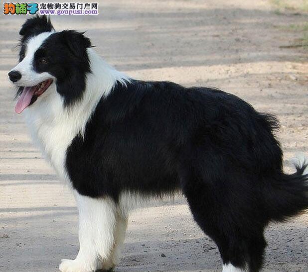 出售品相好血统纯正身体健康的武汉边境牧羊犬 签协议