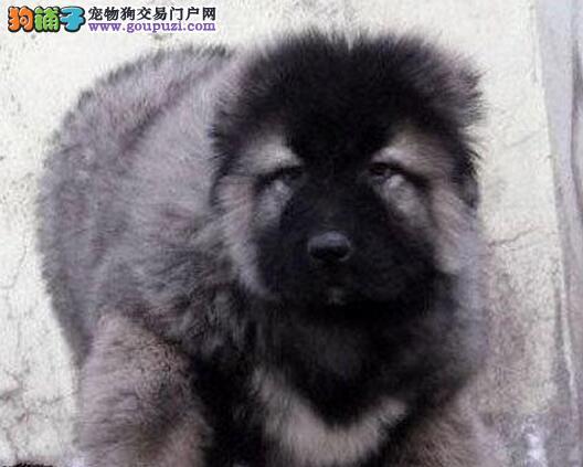 狼青色高大威猛的广州高加索犬找新家 看家护院好帮手