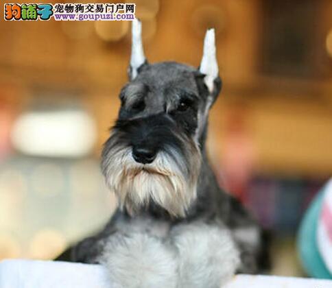 武汉犬舍出售大胡子小老头品相超好的雪纳瑞 非诚勿扰