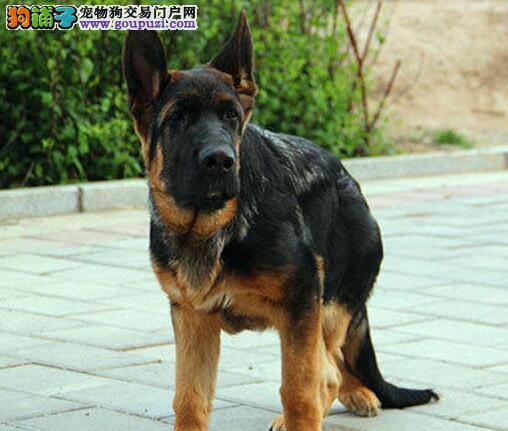 大腮皮大背线的广州德国牧羊犬找新家 宽嘴黑脸