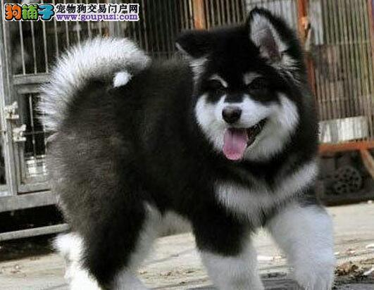 信誉狗场直销双十字昆明阿拉斯加雪橇犬 品相佳毛色好