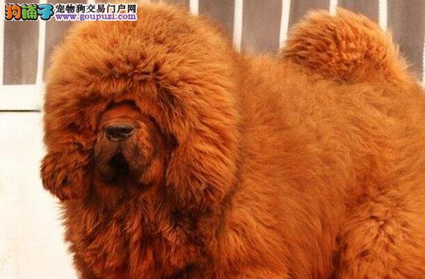贵阳专业繁殖出售大狮子头幼獒 实体犬舍诚信卖家