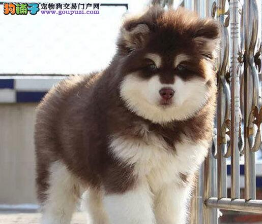 转让十字脸身体健康的哈尔滨阿拉斯加犬 保证售后和品质