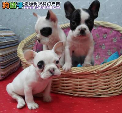 济南狗场出售纯种法国斗牛犬 包健康证件齐全送用品