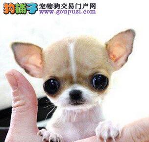 济南繁殖场出售小巧型大眼睛吉娃娃 颜色全包纯种