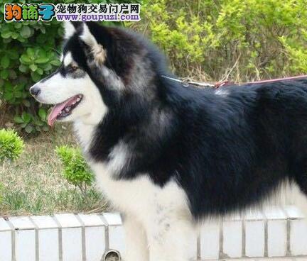 出售纯种大骨架武汉阿拉斯加雪橇犬 可上门当面看狗