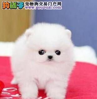 优惠价转让哈多利版博美犬 深圳周边可免邮费可预订