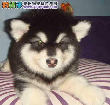 犬舍热卖熊版济南阿拉斯加犬 品质保证完美售后