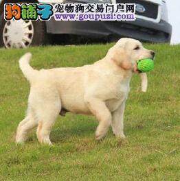 专业养殖基地直销拉布拉多犬 济南地区购犬有优惠