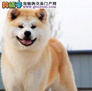 养殖场促销精品济南秋田犬 健康终身保障签协议